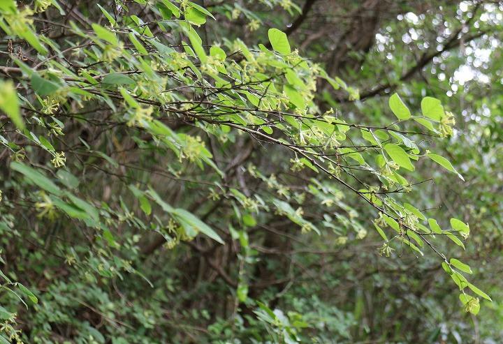 ガンピの花 いっぱい咲いて 2 5 25