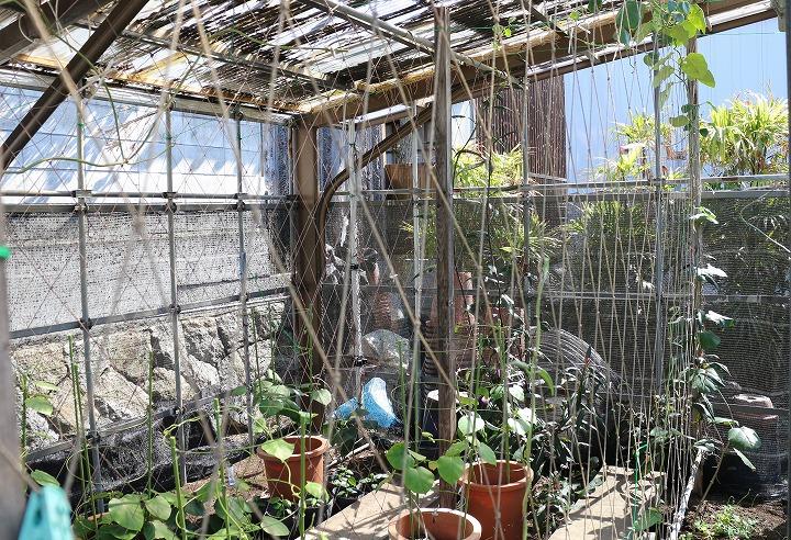 鬼女蘭とガガイモのハウス 2 5 11