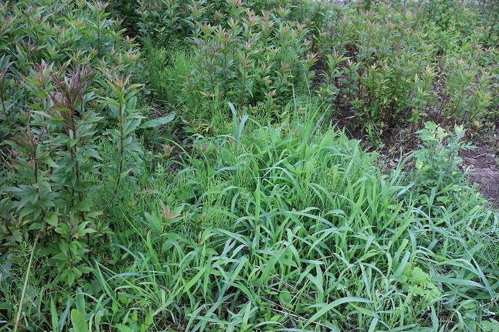 藤袴の中の草抜き 2 6 16