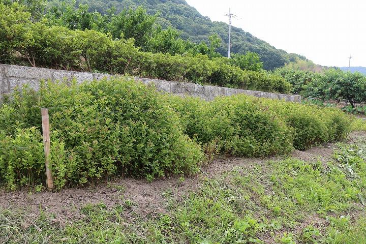 藤袴の中の草抜き2日目 2 6 17