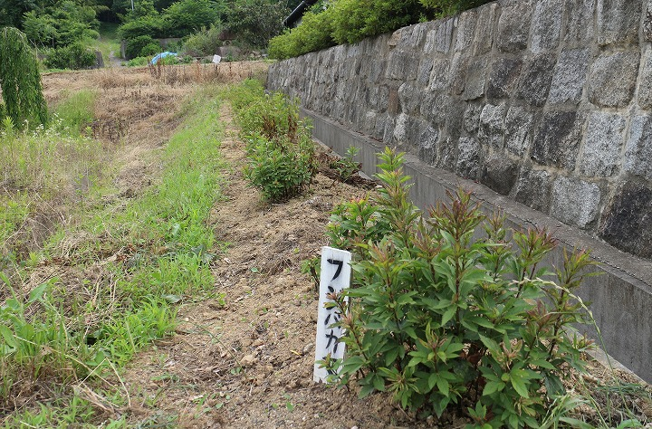 藤袴 かわらの里 草抜き 2 6 17
