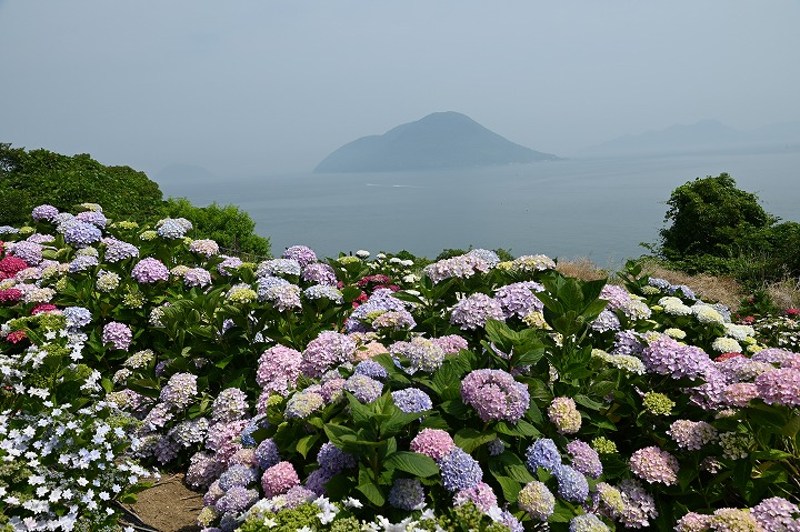 志々島の花畑 紫陽花見頃 2 6 4