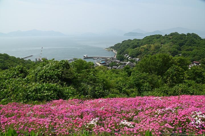 志々島の花畑 2 6 4