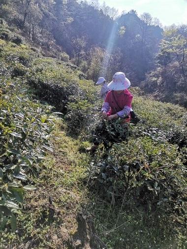 千里香緑茶