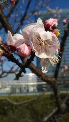 大阪駅屋上庭園で咲いていたアンズの花