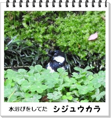 シジュウカラkakou