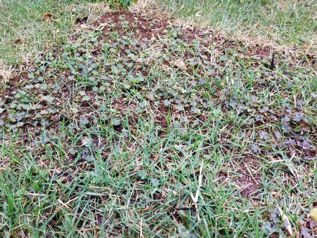 芝 雑草 カタバミ