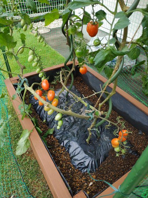 トマト 折れる