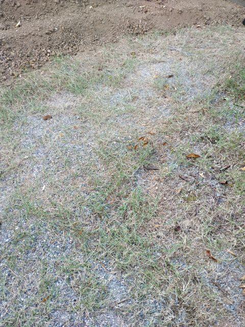 芝 枯れた
