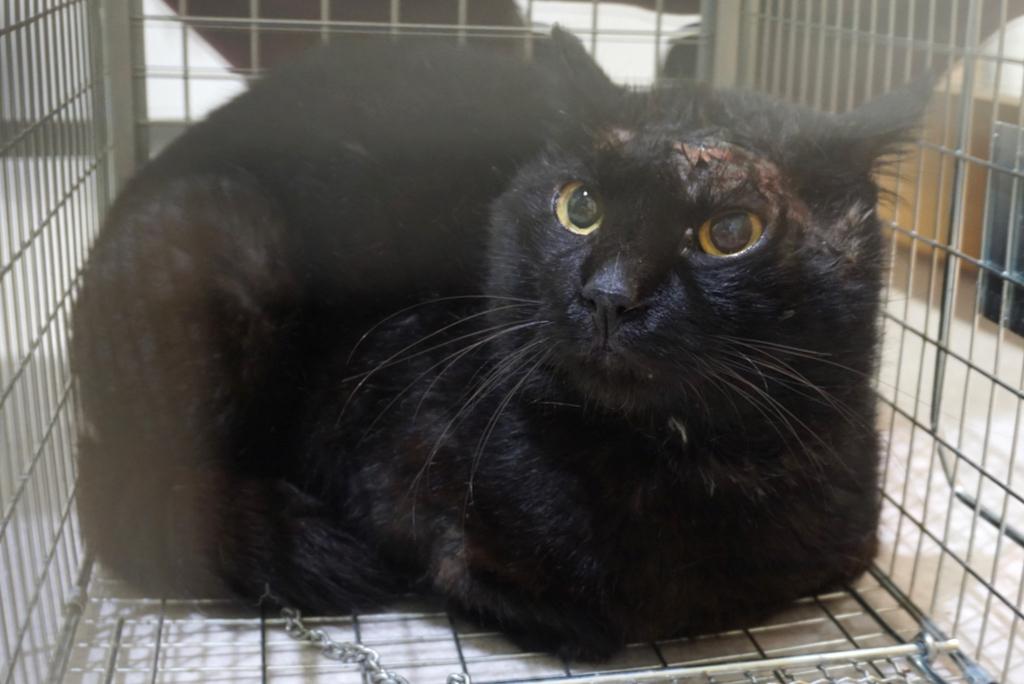 江戸川区本一色:額に大怪我をしていた黒猫ちゃん