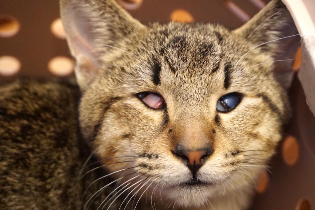 江戸川区春江町から保護:盲目のライオン丸