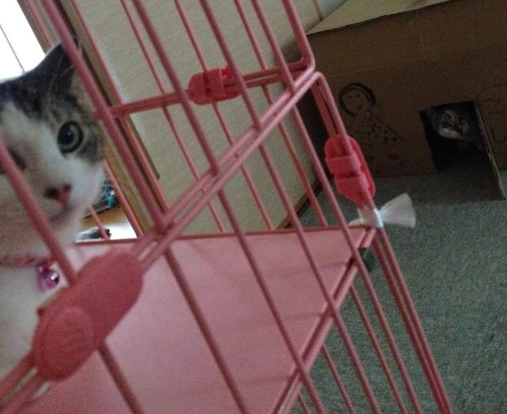 🎊白キジ猫:ひなたちゃん