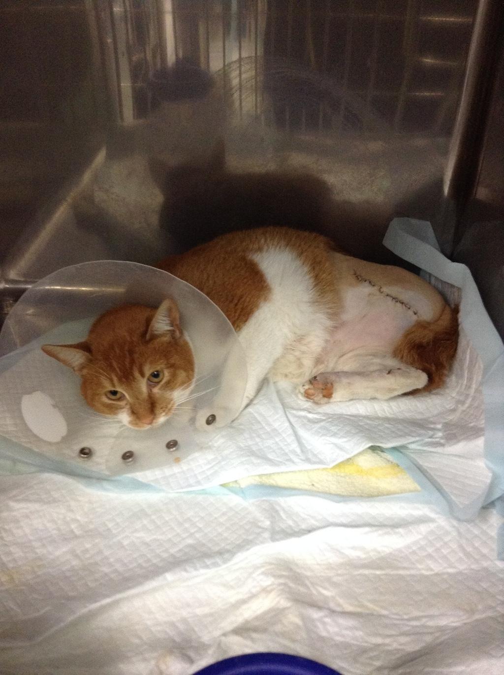 交通事故で足を切断した猫ちゃん