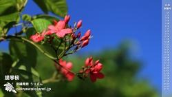 提琴桜(テイキンザクラ) デスクトップカレンダー6月