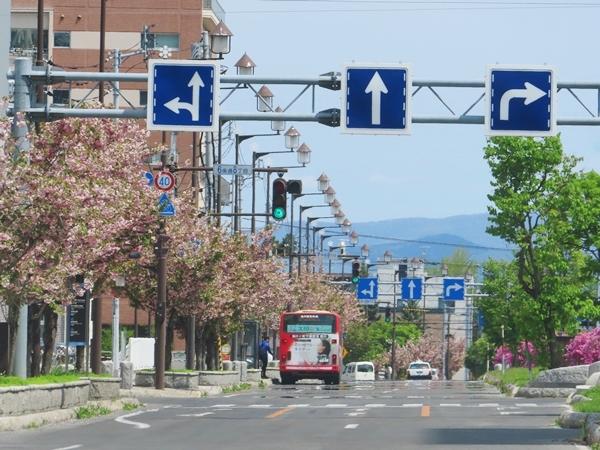緑橋通り八重桜