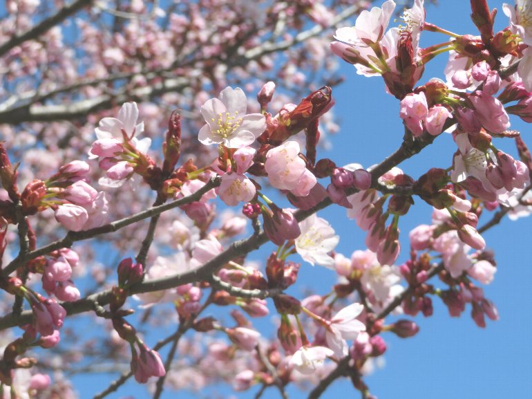 20210422桜
