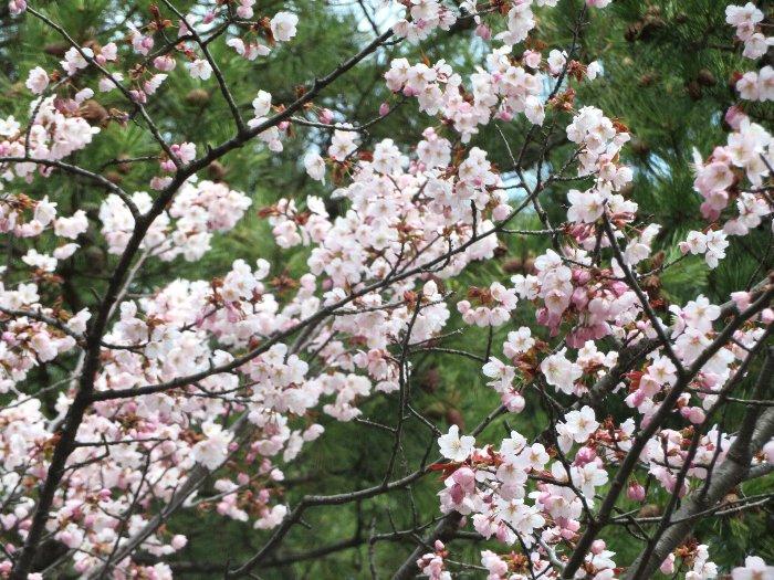 202104桜