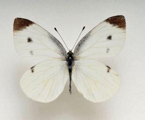 11cccb9e9e4f0017607da3a011265778モンシロチョウ展翅