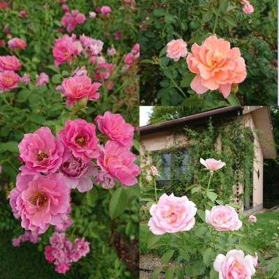 rose202009b.jpg