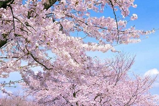 cherry-blossom_00012.jpg