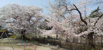 五十鈴公園の桜