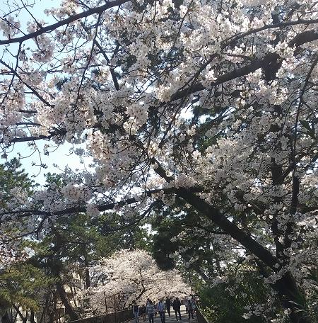 桜0404_2