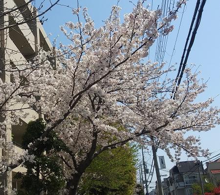 桜0404_3
