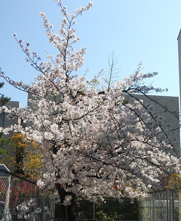 桜0404_4