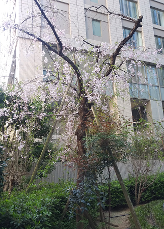 桜0407