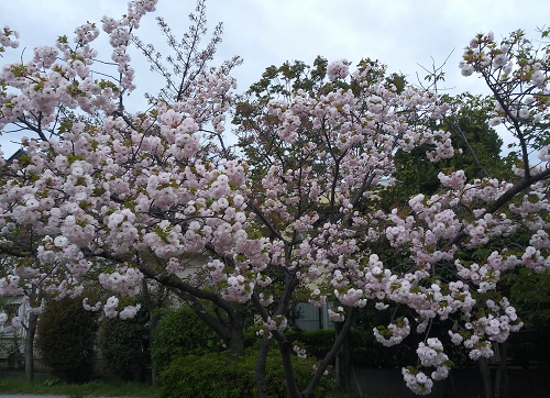 桜0419_№343