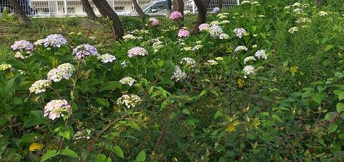 №353紫陽花