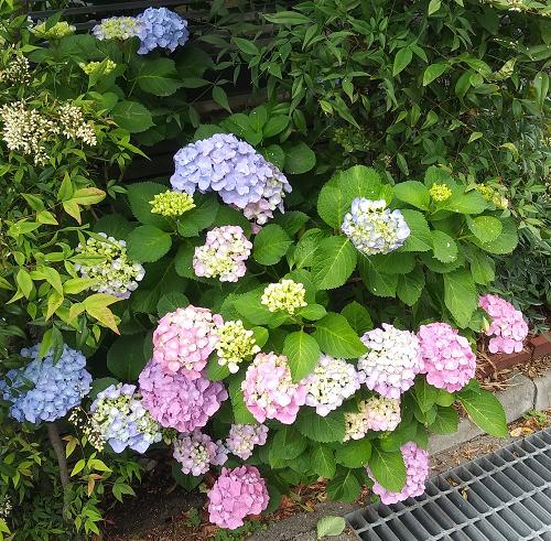 355_紫陽花0531