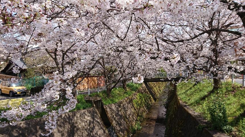 長沢川の桜