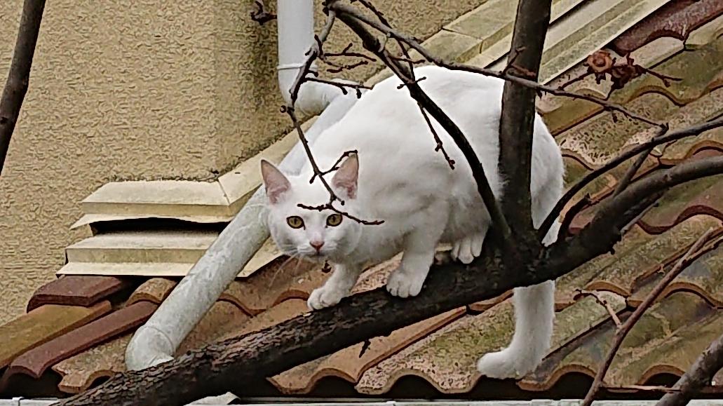 柿の木に」猫1