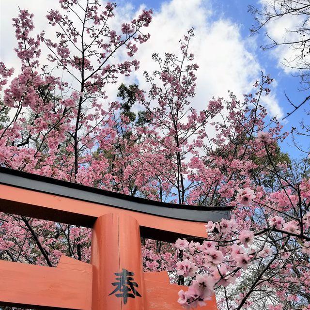 早咲き桜4