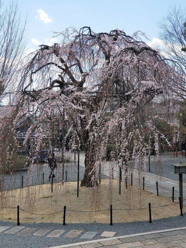 早咲き桜5