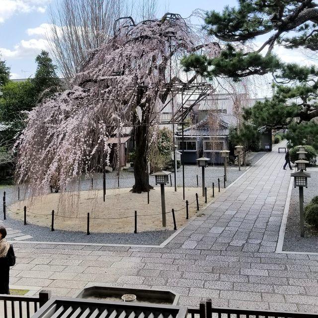 早咲き桜6