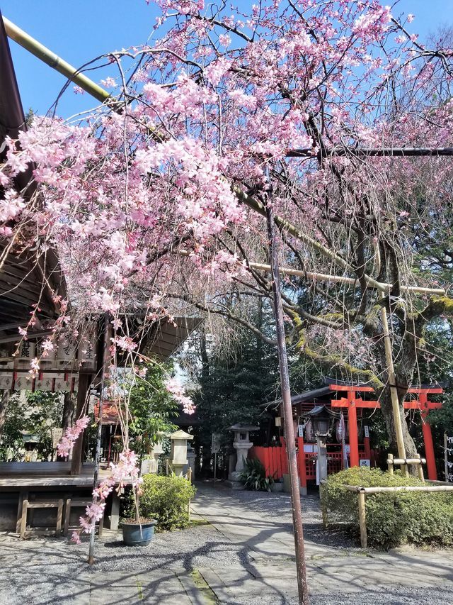 早咲き桜10
