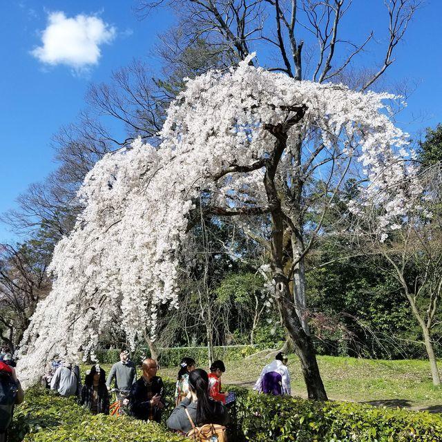 早咲き桜13