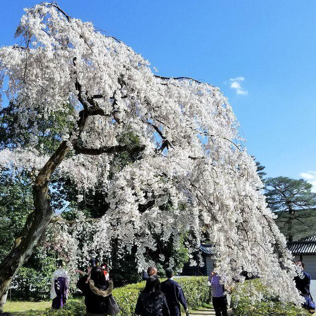 早咲き桜14
