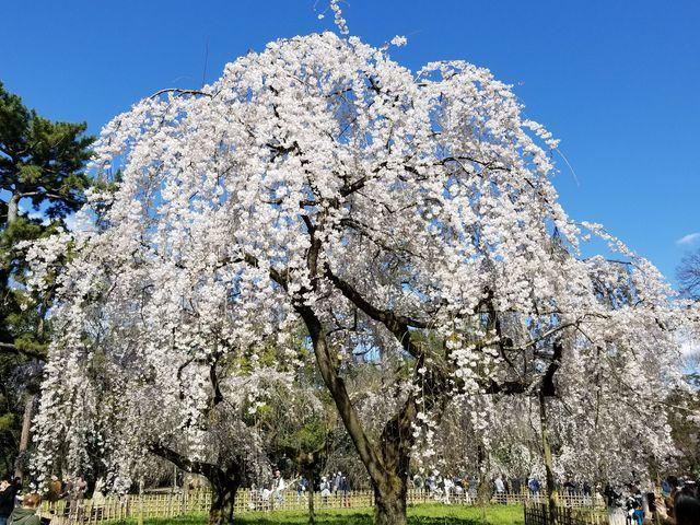 早咲き桜15