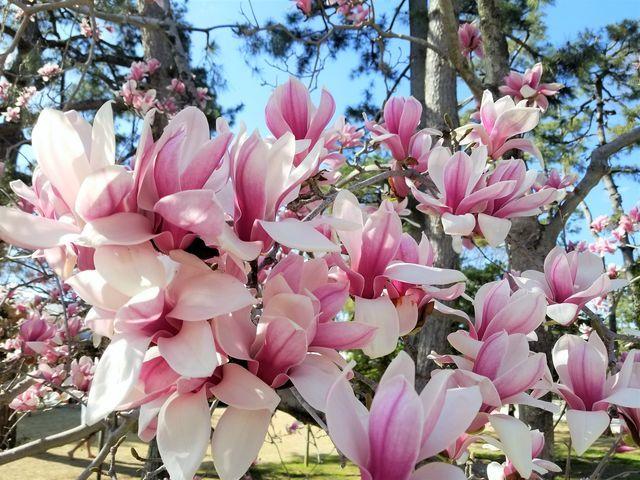 早咲き桜16