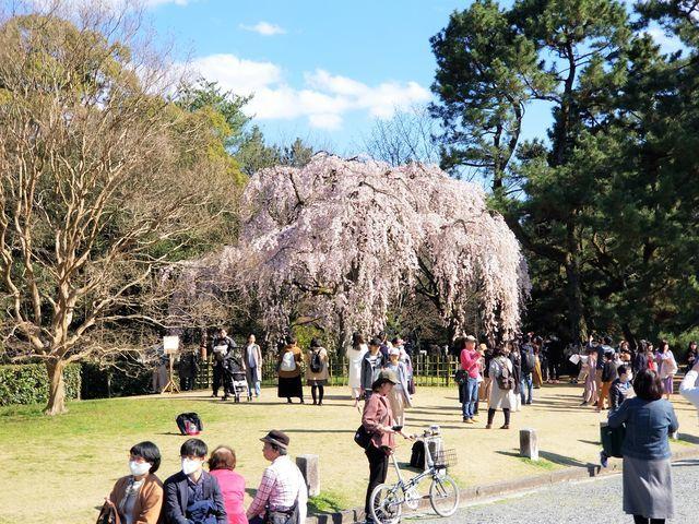 早咲き桜17