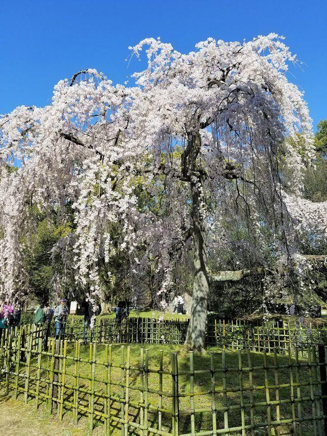 早咲き桜18
