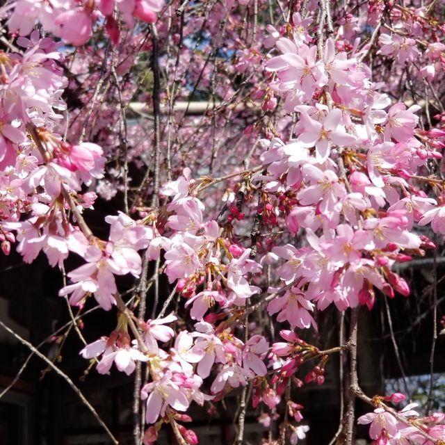 早咲き桜27