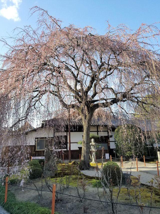 早咲き桜22
