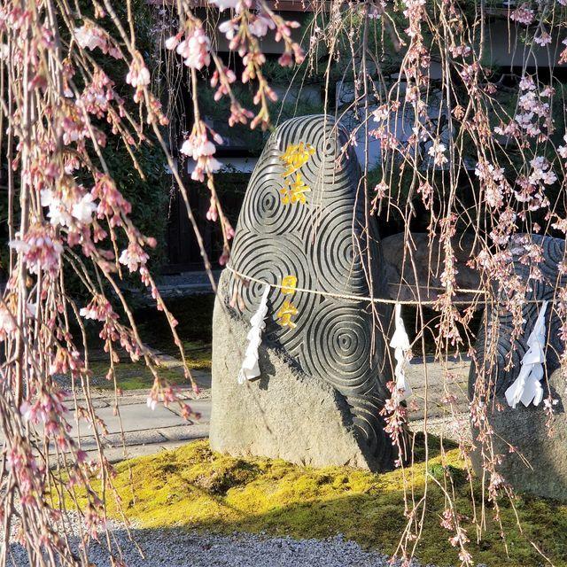 早咲き桜23