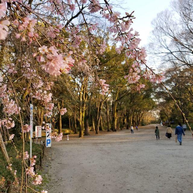 早咲き桜25