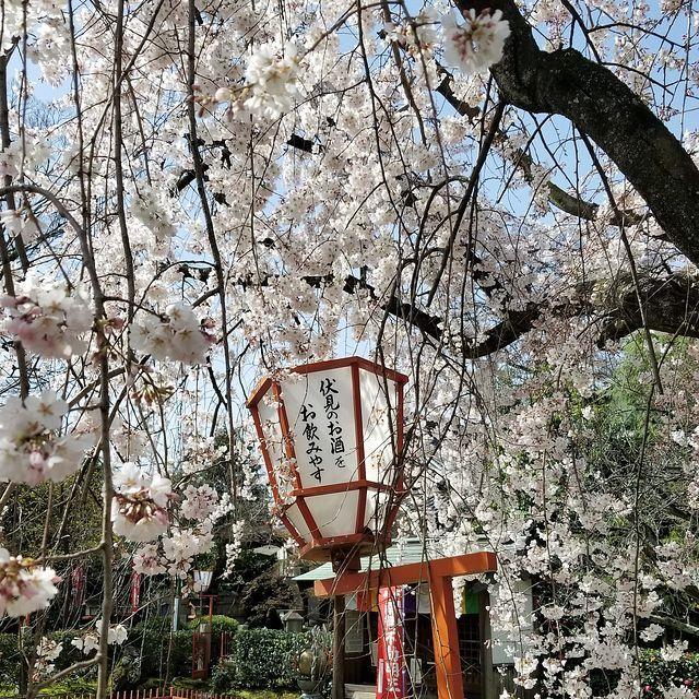 伏見桜_003
