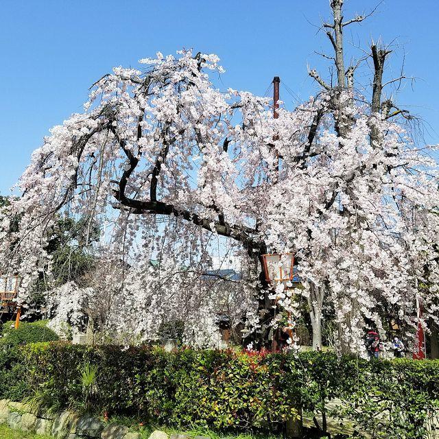 伏見桜_004